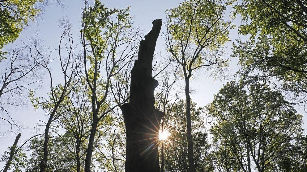 Abgestorbener Baum zwischen Buchen