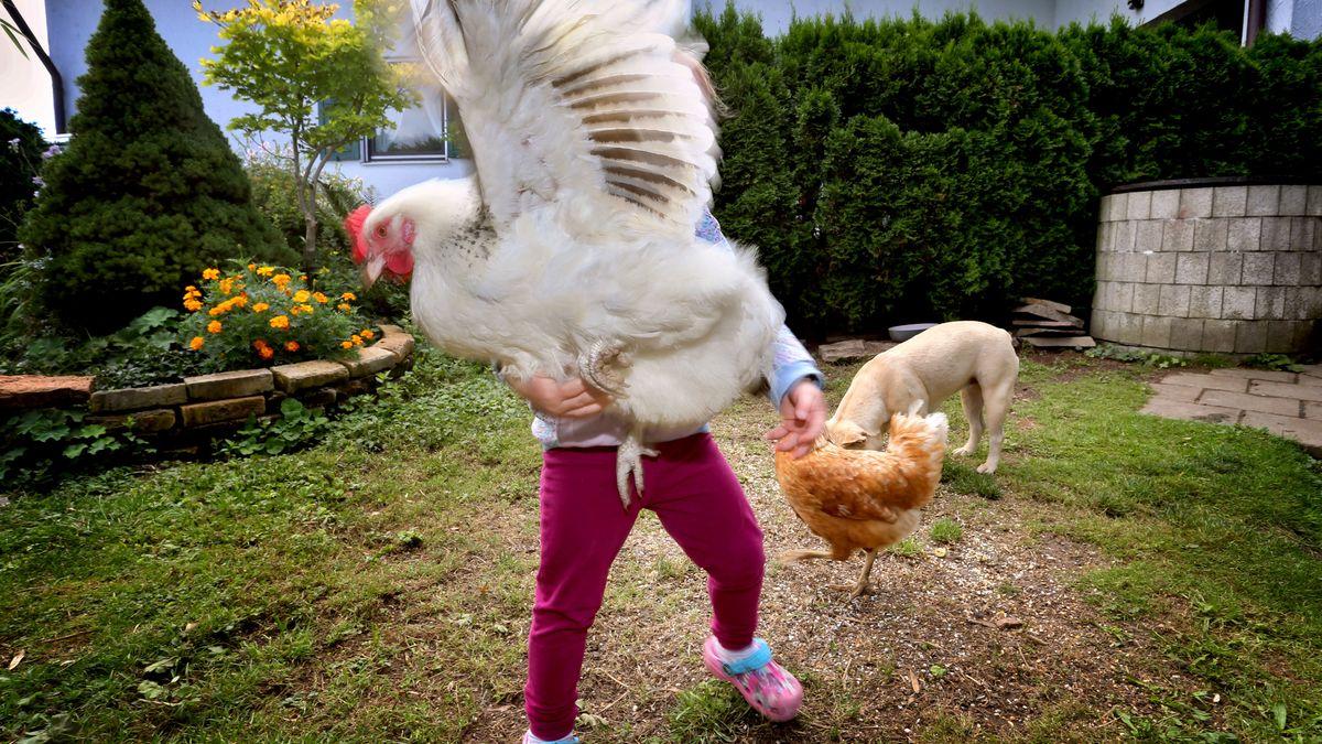 Geflügelzüchter können sich kaum retten vor Hühner-Nachfrage