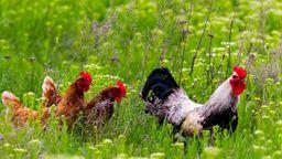Hühner und ein Hahn auf einer Wiese. | Bild:stock.adobe.com