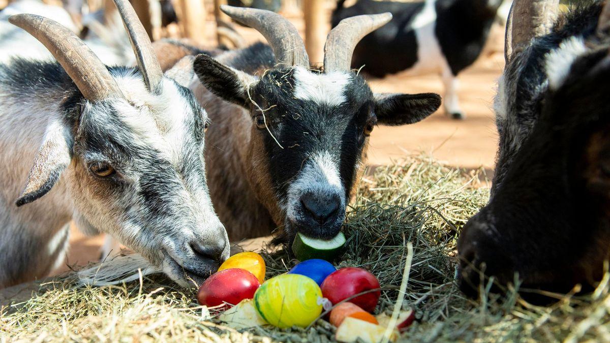 Die Ziegen im Tierpark Hellabrunn freuen sich über ihr buntes Osternest.