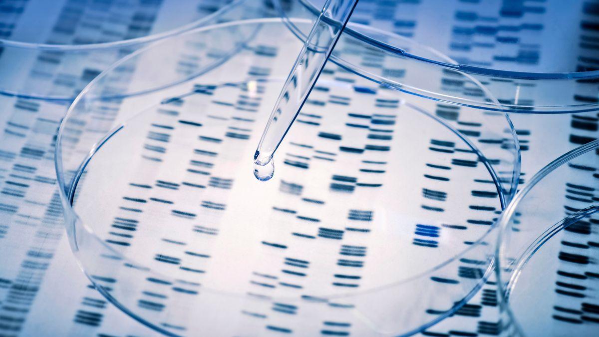 Probe wird in eine Petrischale über genetische Ergebnisse pipettiert.