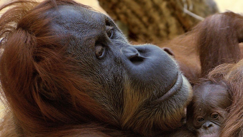 """Ein Orang-Utan-Baby ist am 19.10.2016 im Tierpark Hellabrunn in München (Bayern) in den Armen seiner Mutter """"Matra"""" zu sehen. Bereits Anfang Oktober hat die Menschenaffendame einen gesunden Jungen zur Welt gebracht. Er ist das siebte Mitglied der Orang-Utan-Gruppe in Hellabrunn. - Jetzt ist seine Mutter tot."""