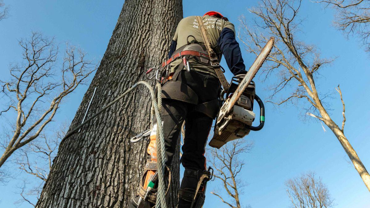 Forstarbeiter beim Bearbeiten einer Eiche