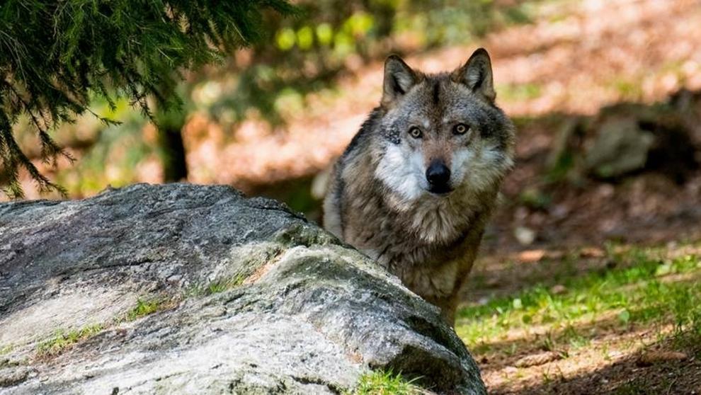 Symboldbild Wolf | Bild:BR/Breitkreutz