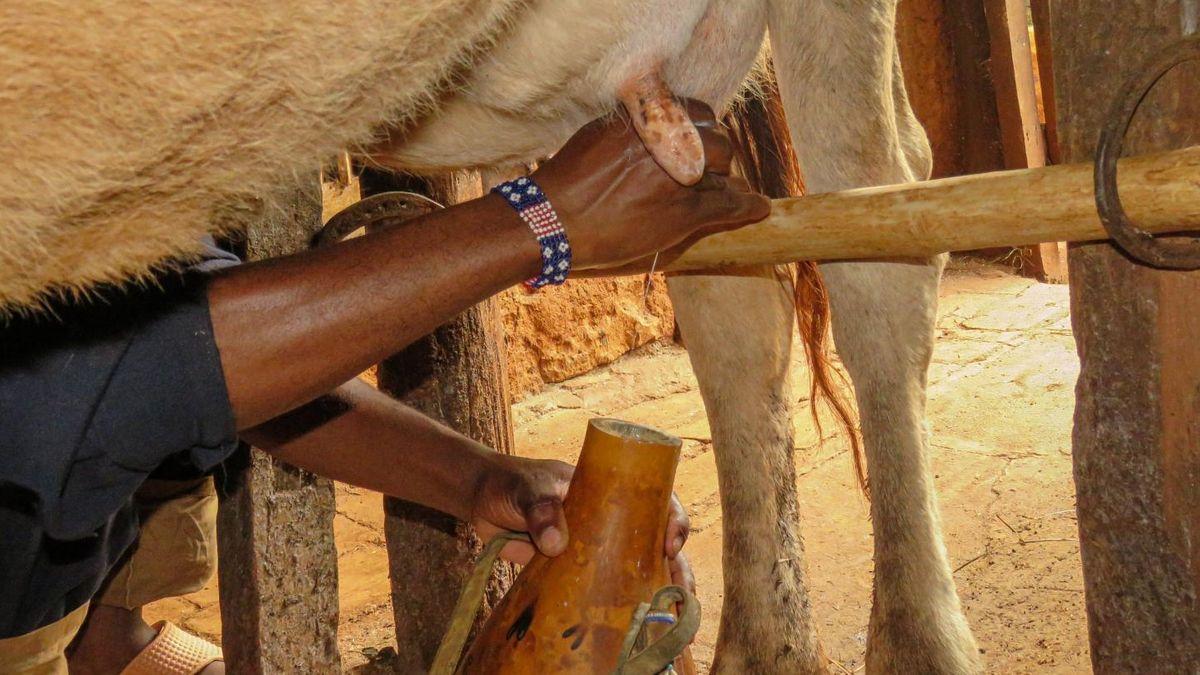 Kühe melken in Kenia
