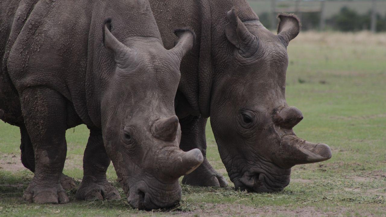 Letzte Nördliche Breitmaulnashörner: Die Weibchen Najin und Fatu leben in einem Reservat in Kenia
