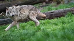 Europäischer Wolf | Bild:BR