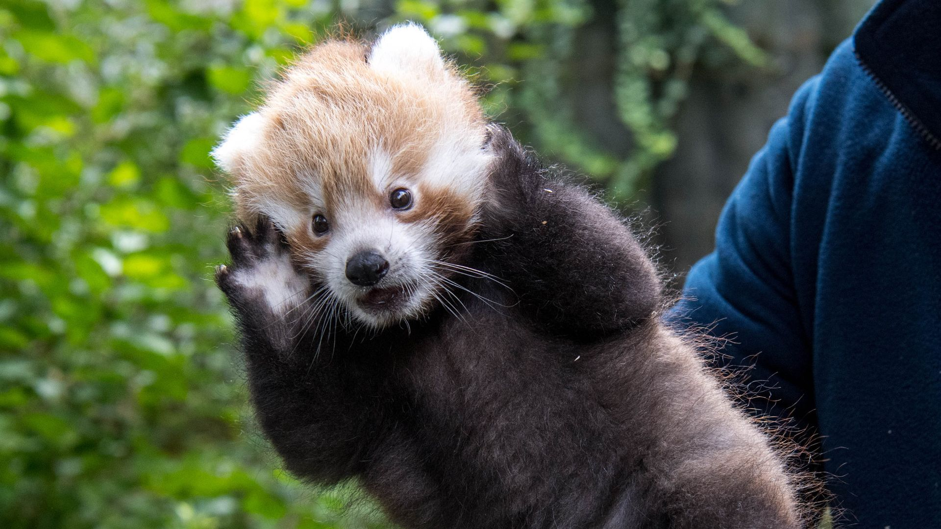 Panda-Nachwuchs im Zoo Hellabrunn
