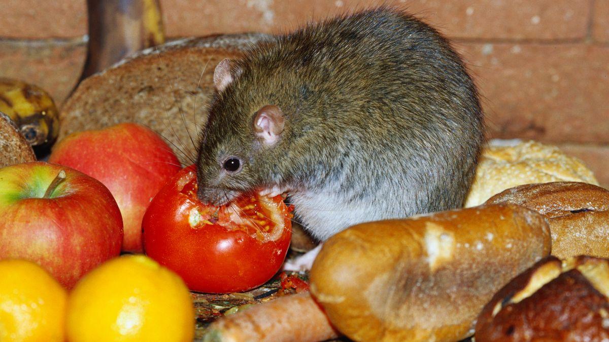 Ratte macht sich über Abfälle - Obst und Brot - her