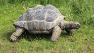 Seychellen-Riesenschildkröte | Bild:picture alliance/imageBROKER