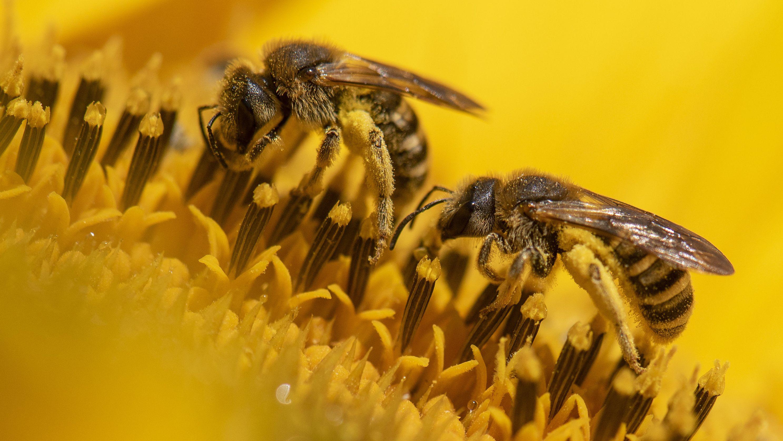 Zwei Bienen krabbeln über die Blüte einer Sonnenblume.