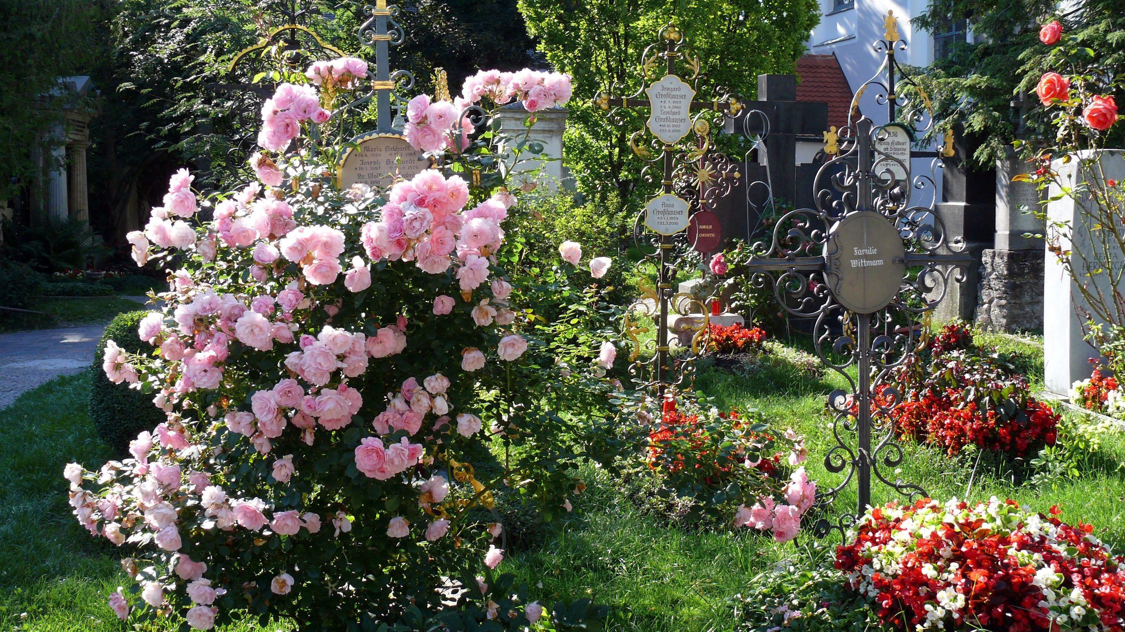 Rosen blühen auf einem Friedhof.