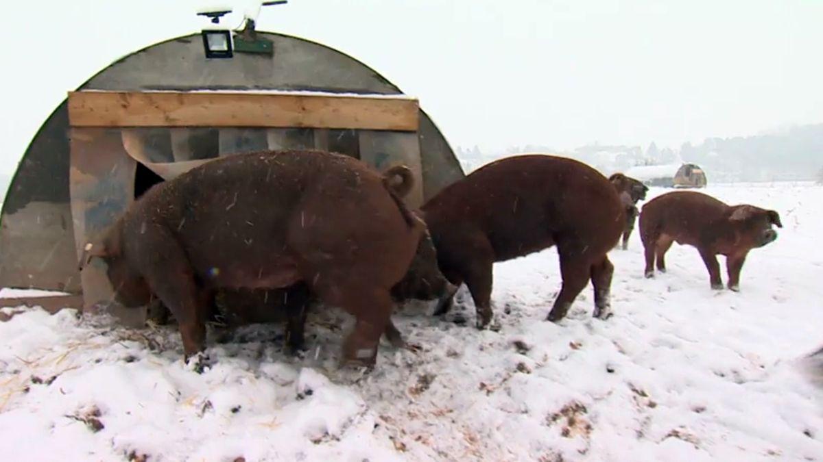 Duroc-Schweine