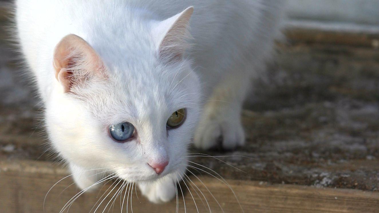 Symbolbild: Weiße Katze