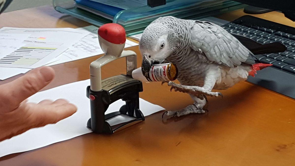 Graupapagei Carlo im Büro