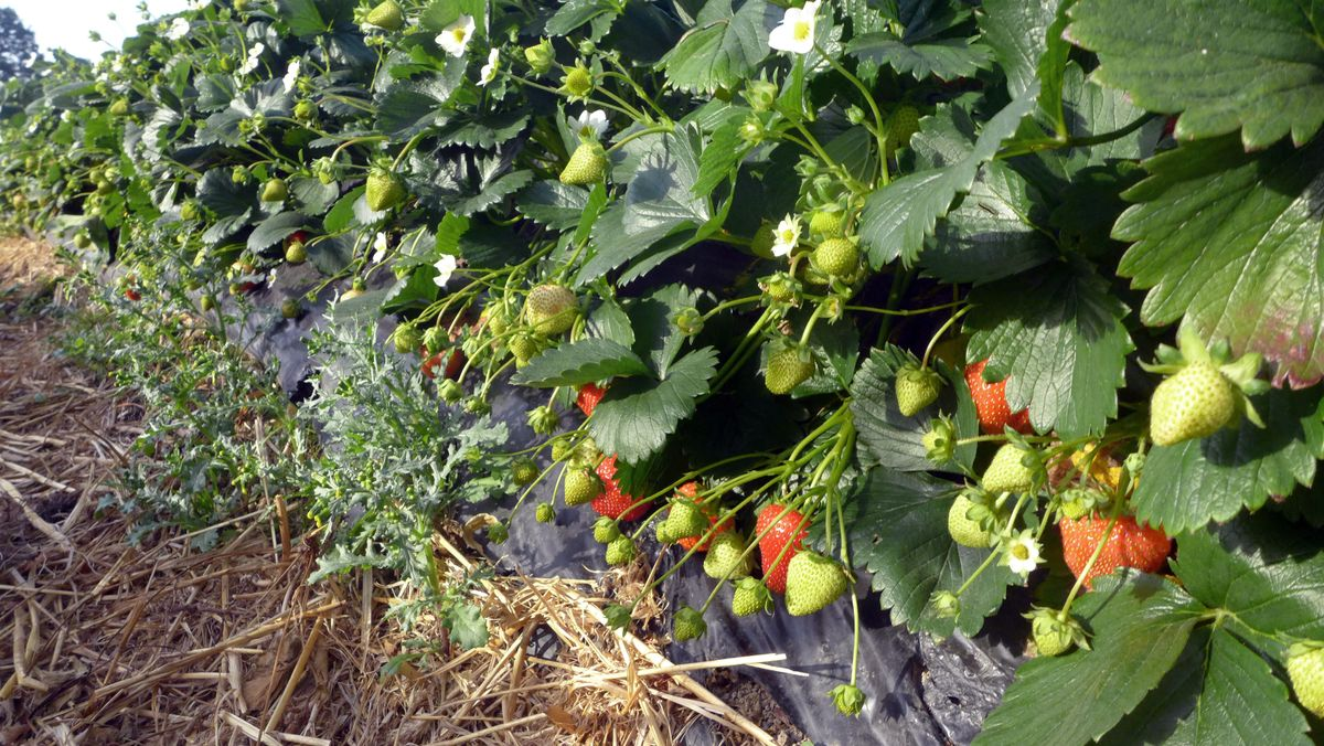 Die Erdbeer-Ernte in Schwaben startet mit einiger Verspätung, weil das Frühjahr ungewöhnlich kalt war.