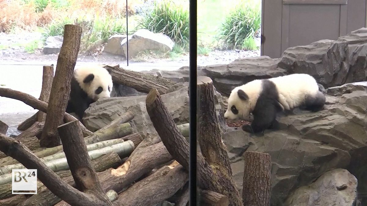 Pandazwillinge Meng Xiang und Meng Yuan in ihrem Innengehege