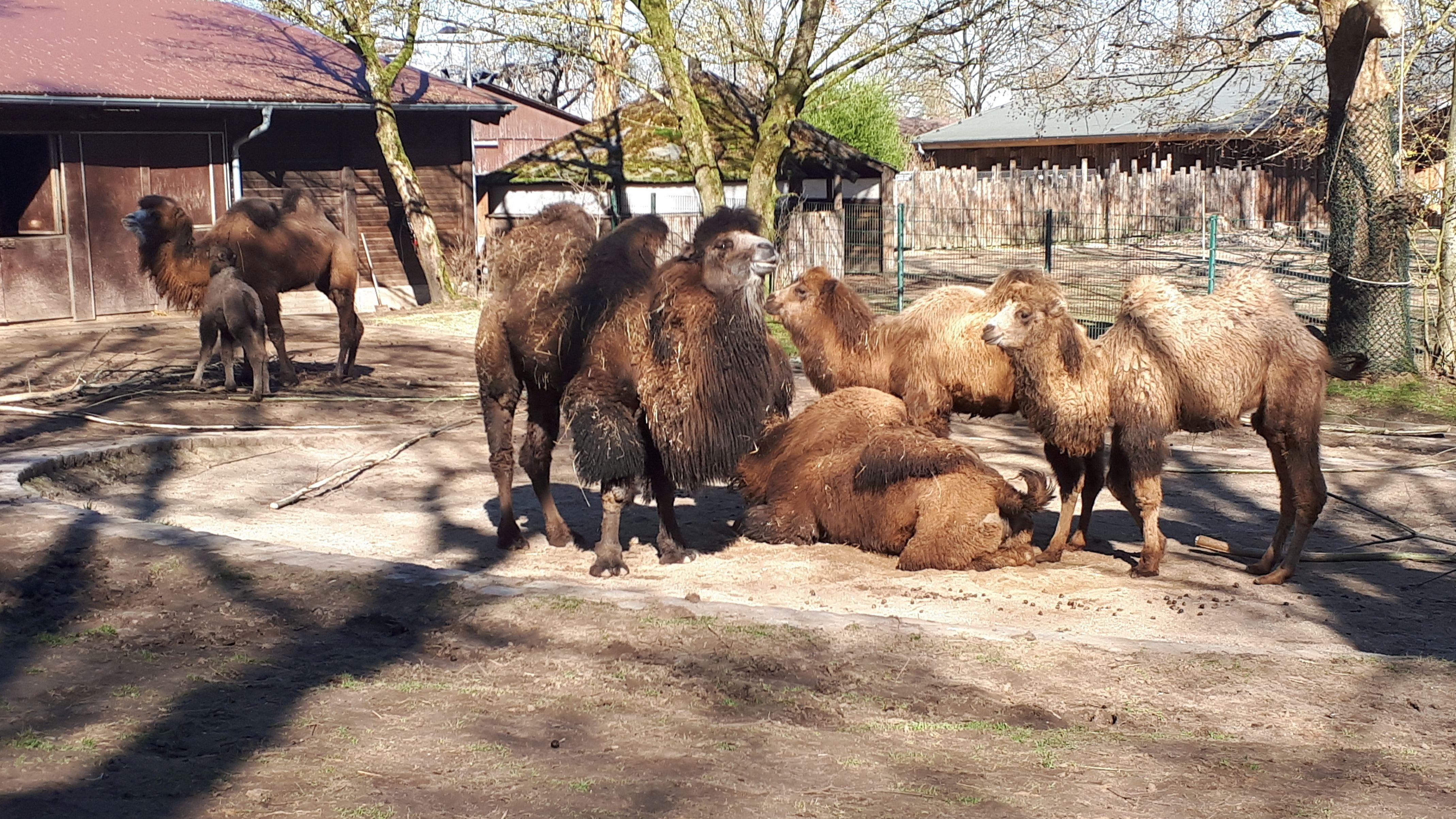 Trampeltiere im Gehege des Straubinger Tiergarten