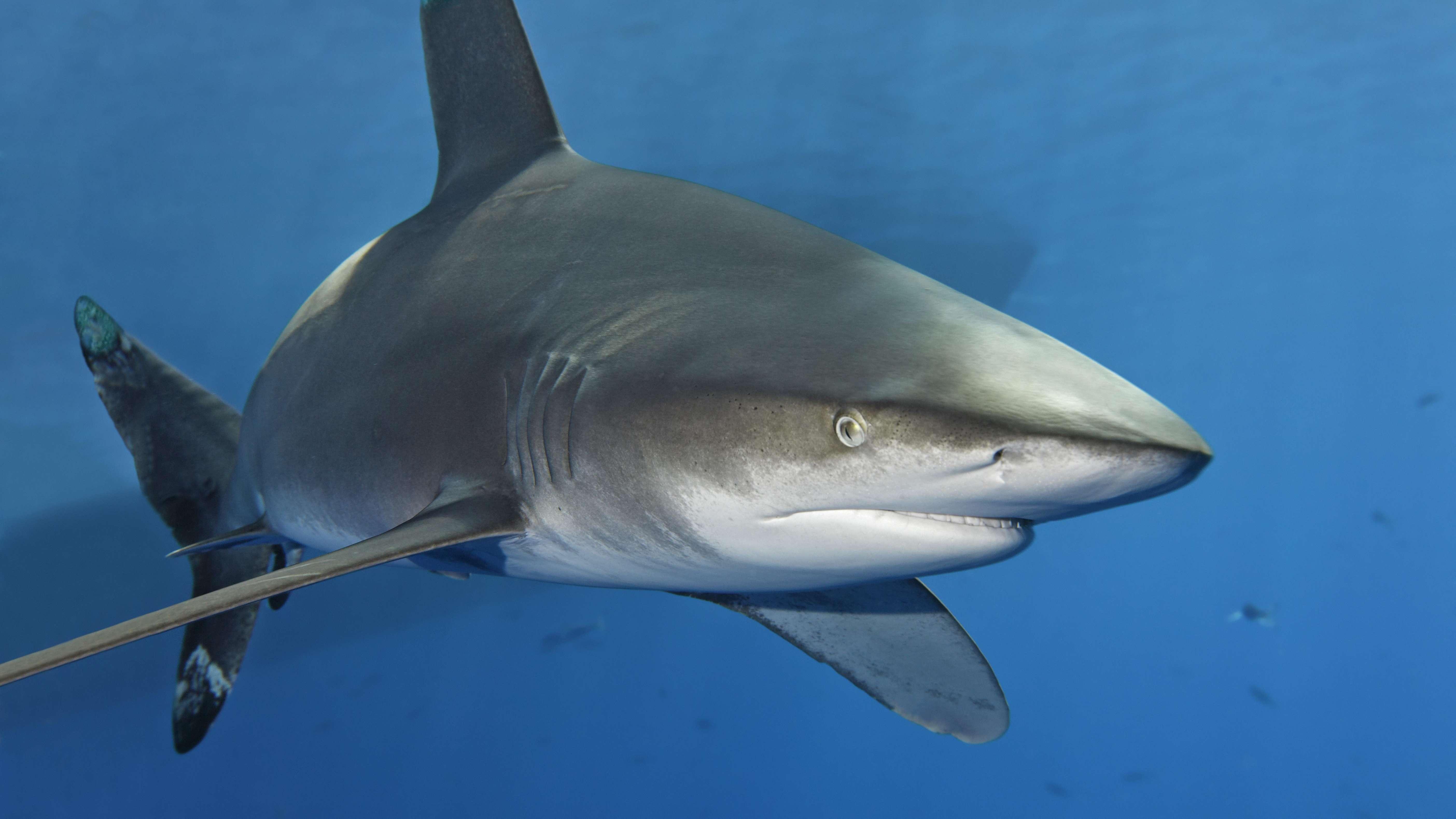 Weißspitzen-Hochseehai (Carcharhinus longimanus) schwimmt im Blauwasser, Great Barrier Reef, Großes Barriereriff,