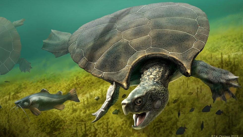 ILLUSTRATION - Ein Männchen der Riesenschildkröte Stupendemys geographicus jagt im Süßwasser einen Fisch.