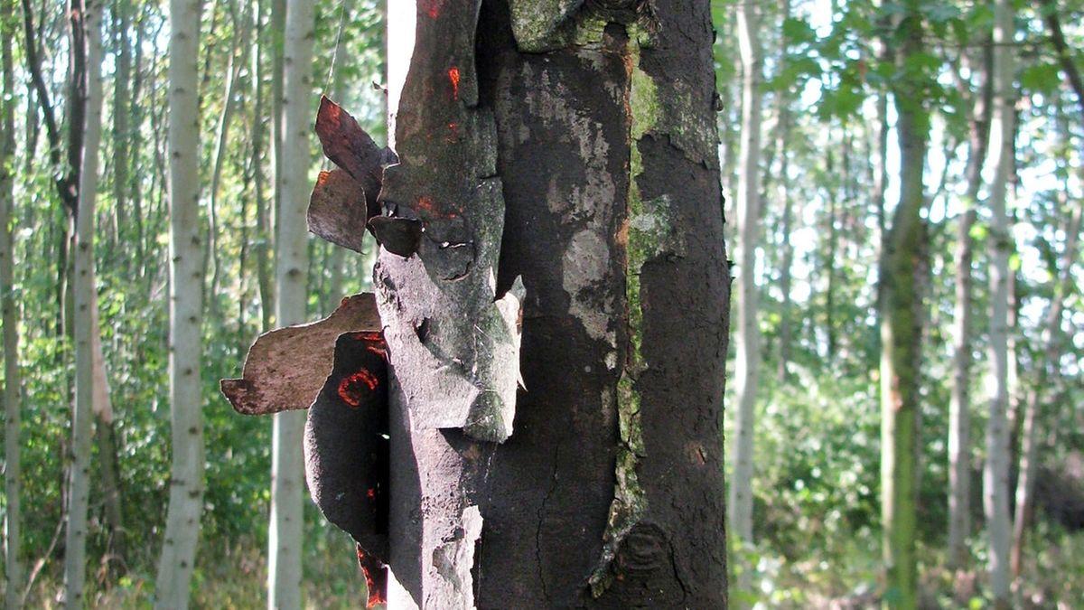 Rußrindenkrankheit befällt Bäume