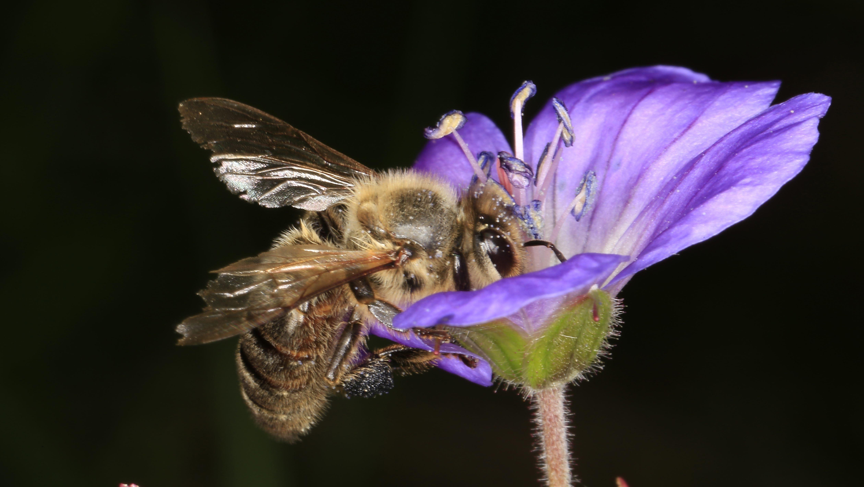 Eine Biene sitzt auf der Blüte eines Waldweidenröschens