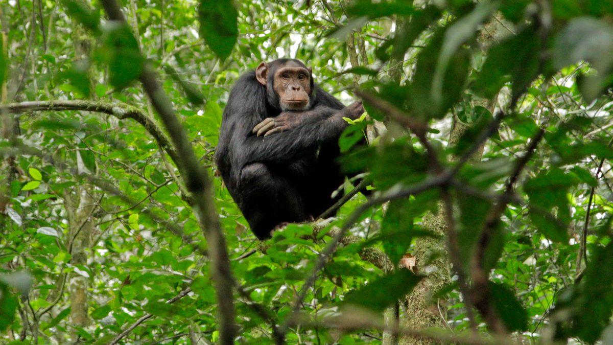 Ein wildlebender Schimpanse in Afrika
