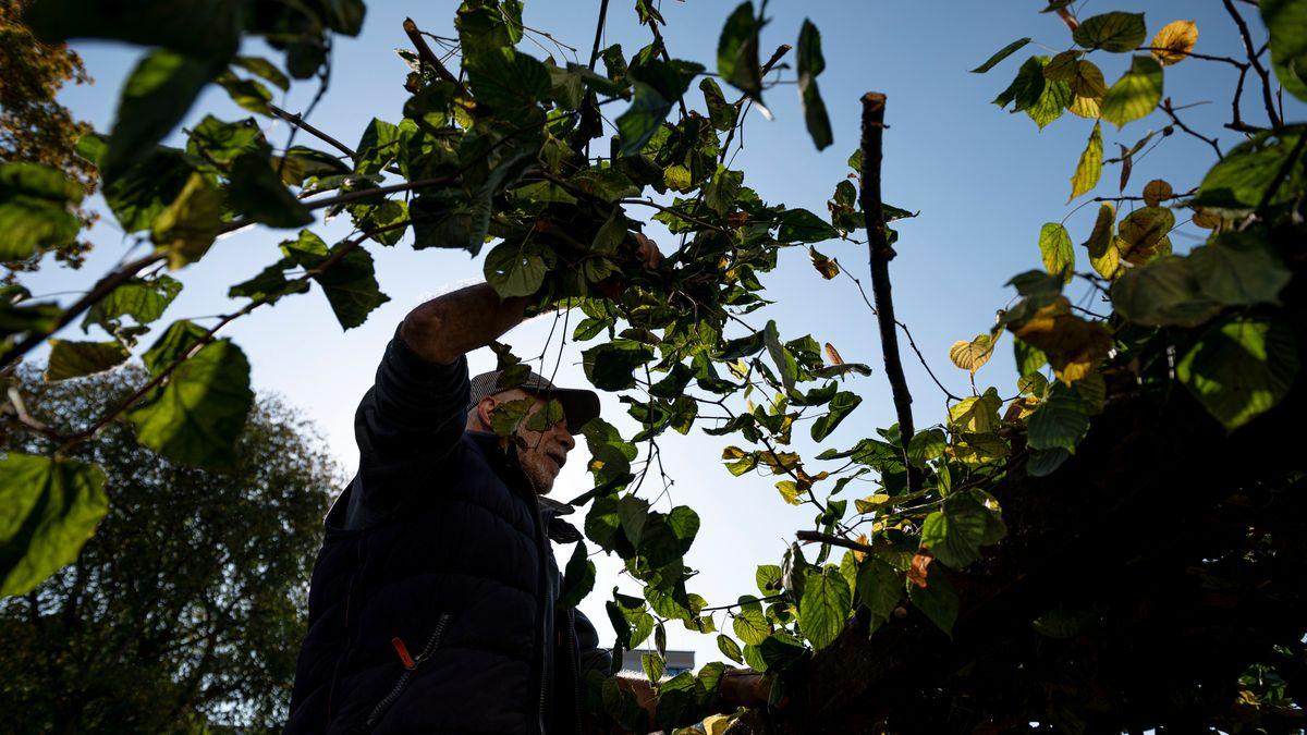 Mitglieder der jüdischen Gemeinde legen Äste auf die Sukka. Eine Sukka, auch Laubhütte genannt, wird für das jüdische Laubhüttenfest errichtet.