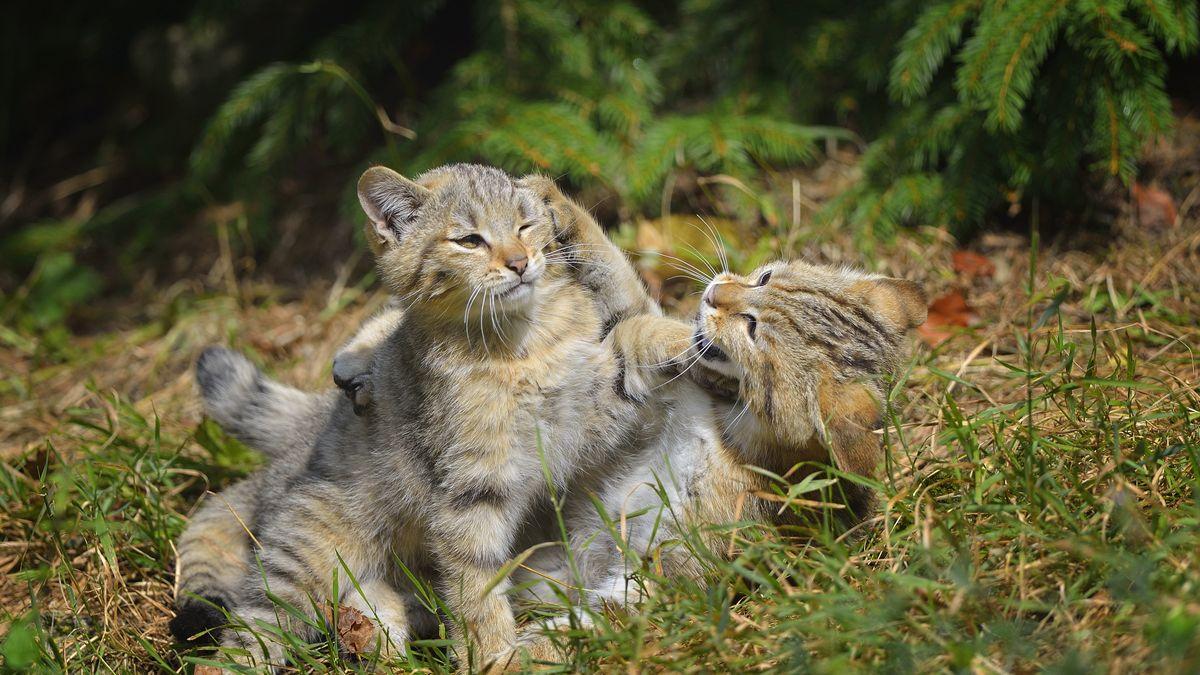 Wildkatzen im Wald