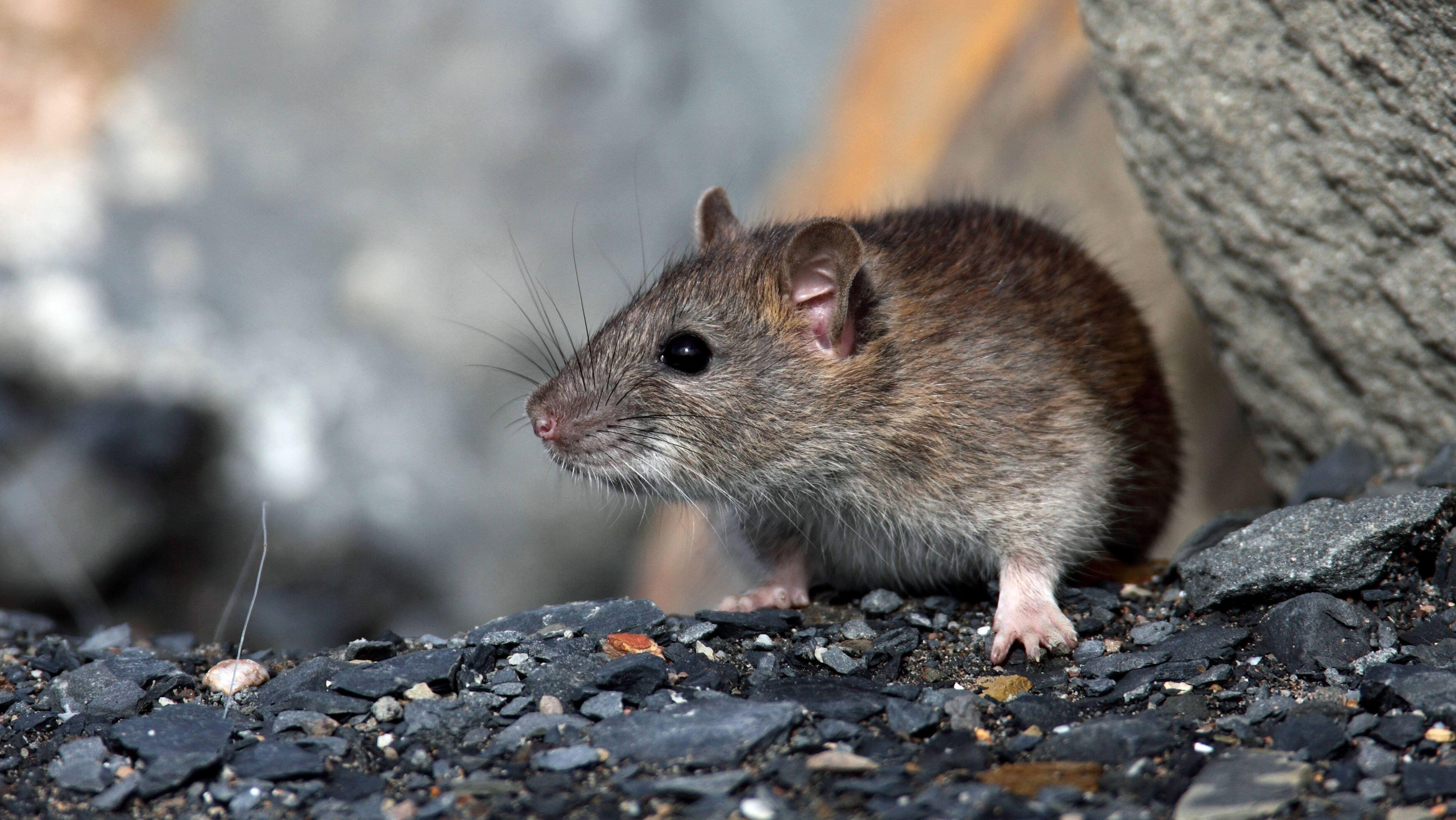 Wanderratte ((Rattus norvegicus), fotografiert in Huelva, einer Stadt in Spanien