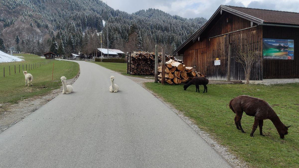 In Unterammergau dürfen Alpakas im Winter frei herumlaufen