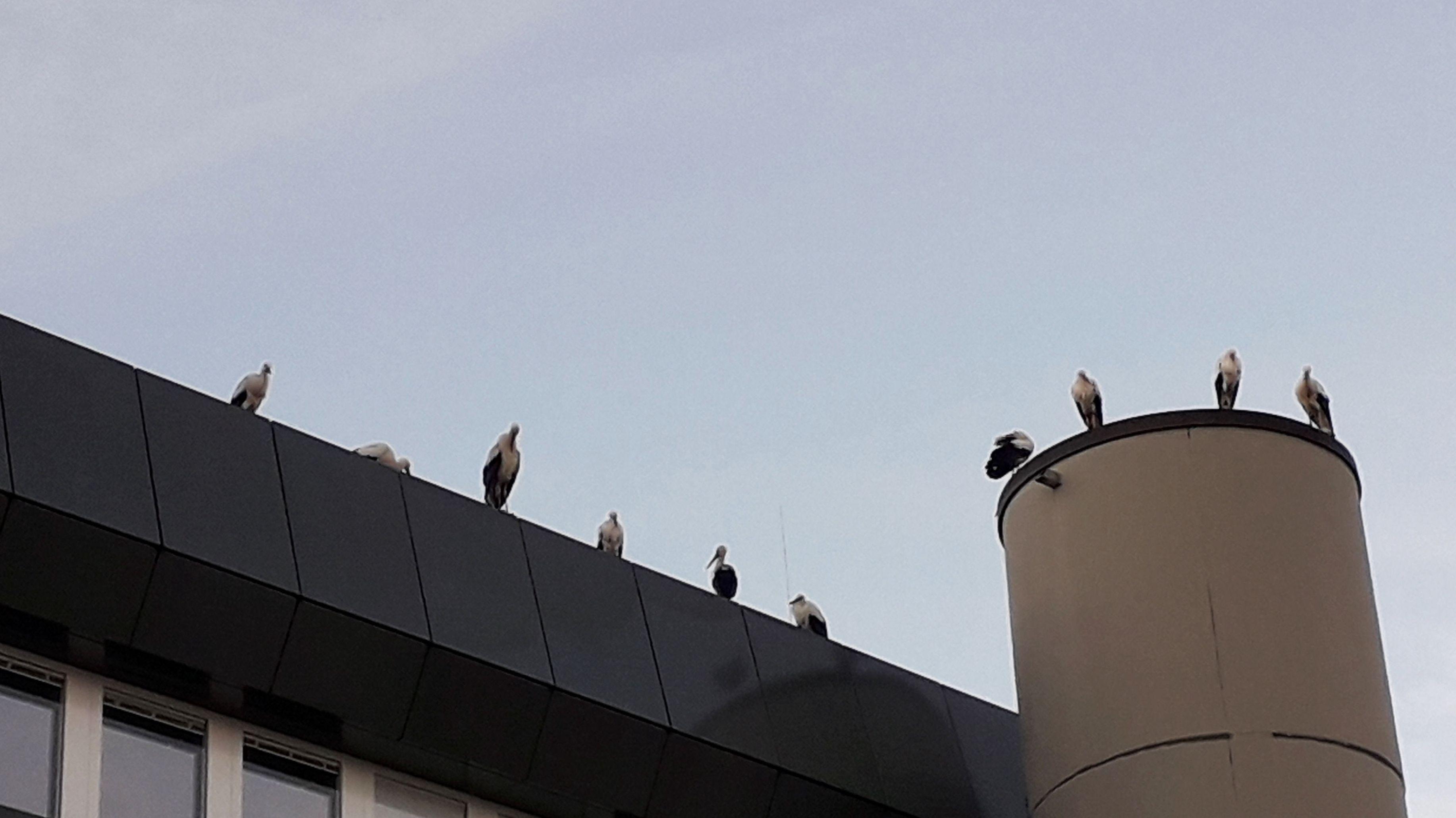 Zehn Störche auf einem Dach