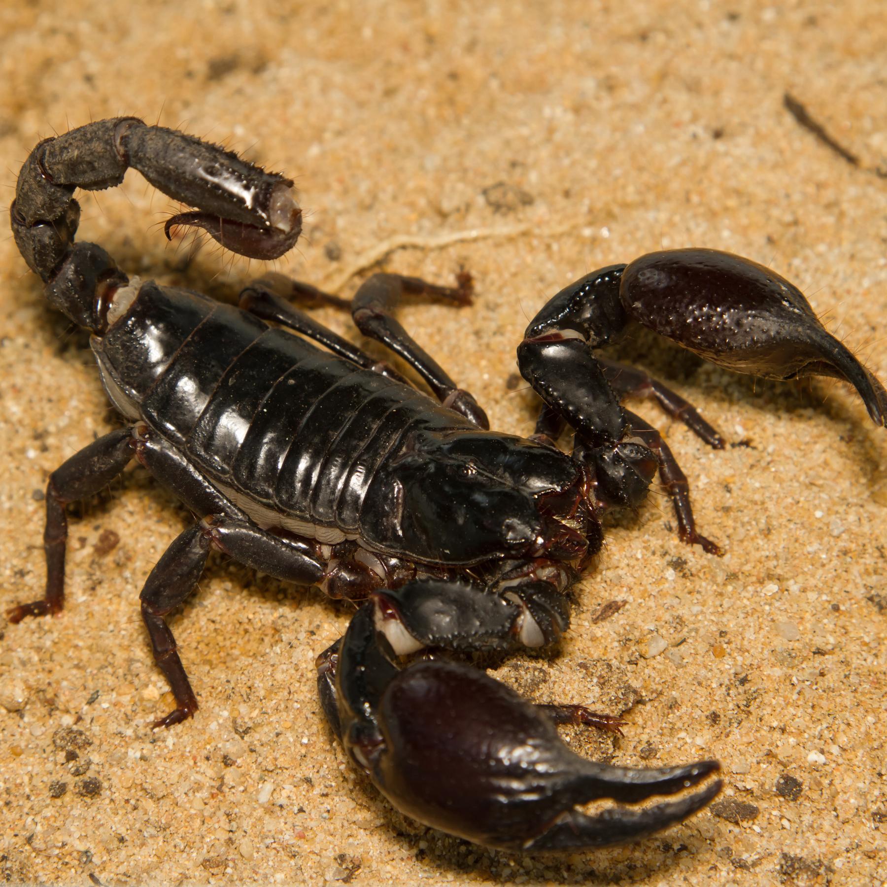 Der Skorpion - Spinnentier mit Symbolwert - radioWissen
