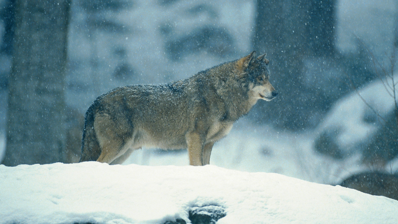 Ein Wolf im Nationalpark Bayerischer Wald im Schnee