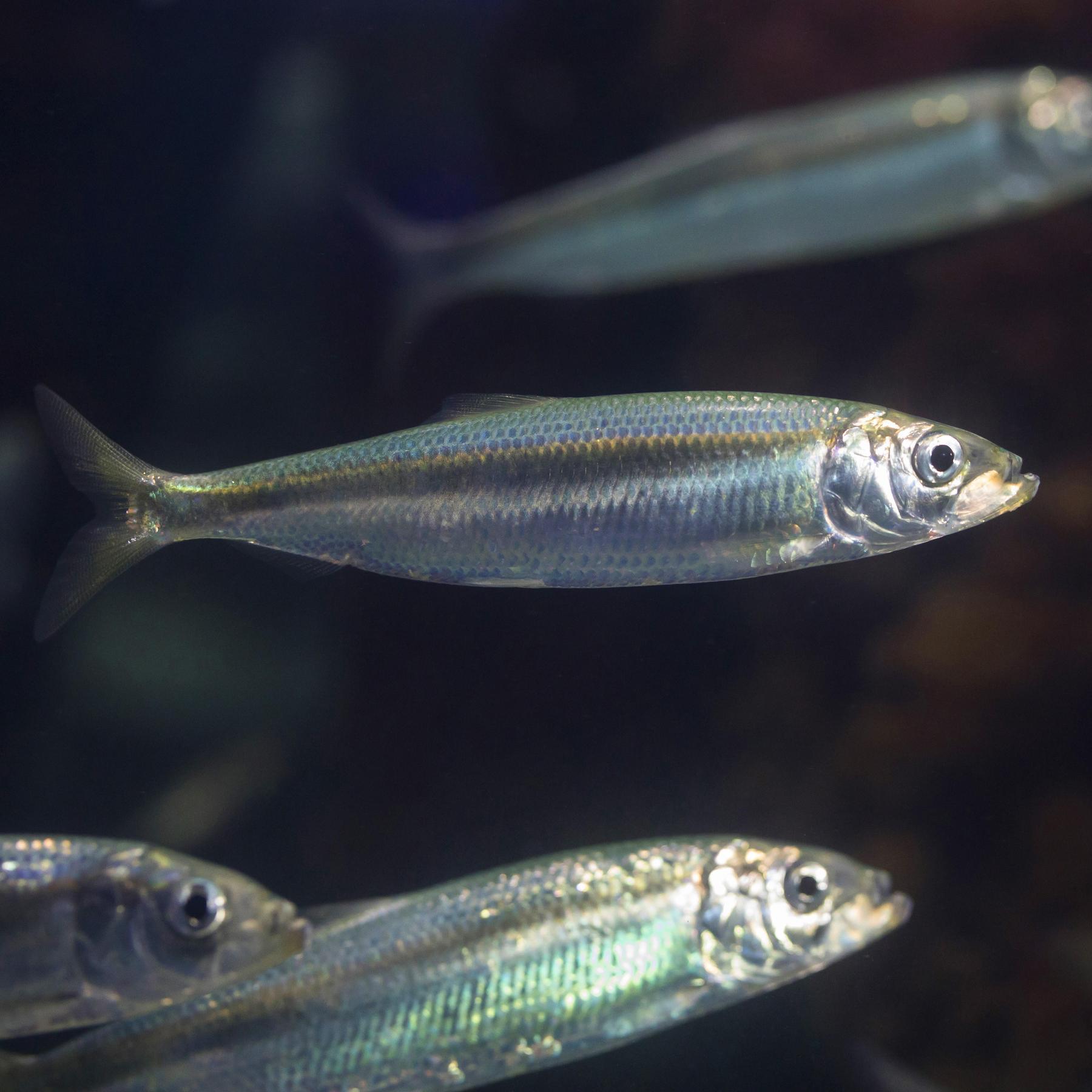 Der Hering - Silber des Meeres