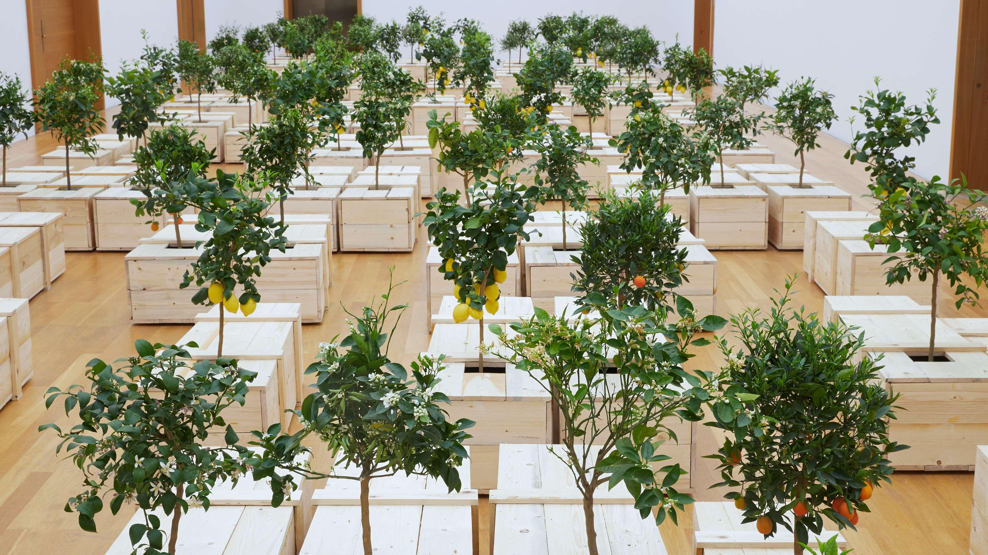 100 Zitrusbäume wachsen aus Holzsärgen