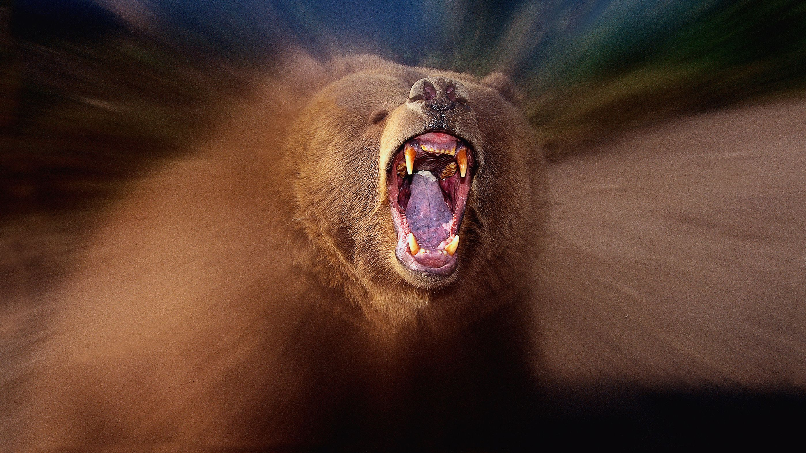 Ein Grizzlybär reißt das Maul auf.