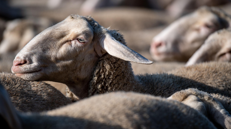 Symbolbild Schafe