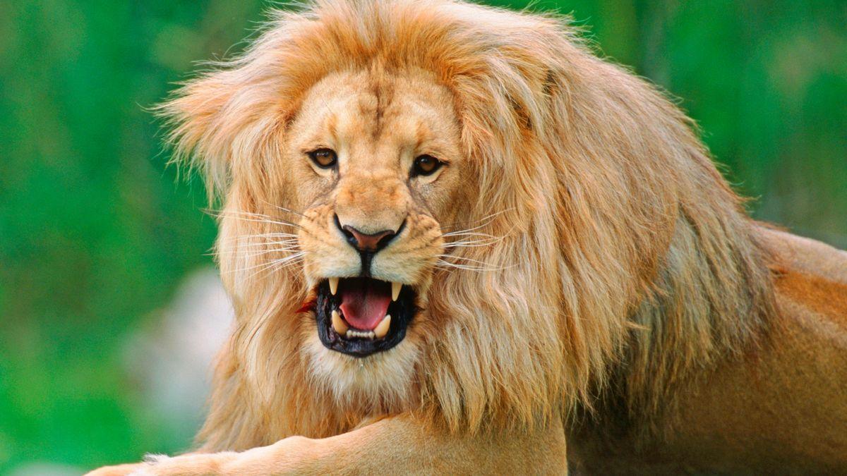 Symbolbild: Afrikanischer Löwe.