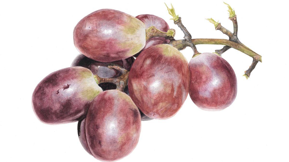 Rote Weintrauben, so realistisch gemalt, als wären sie fotografiert.