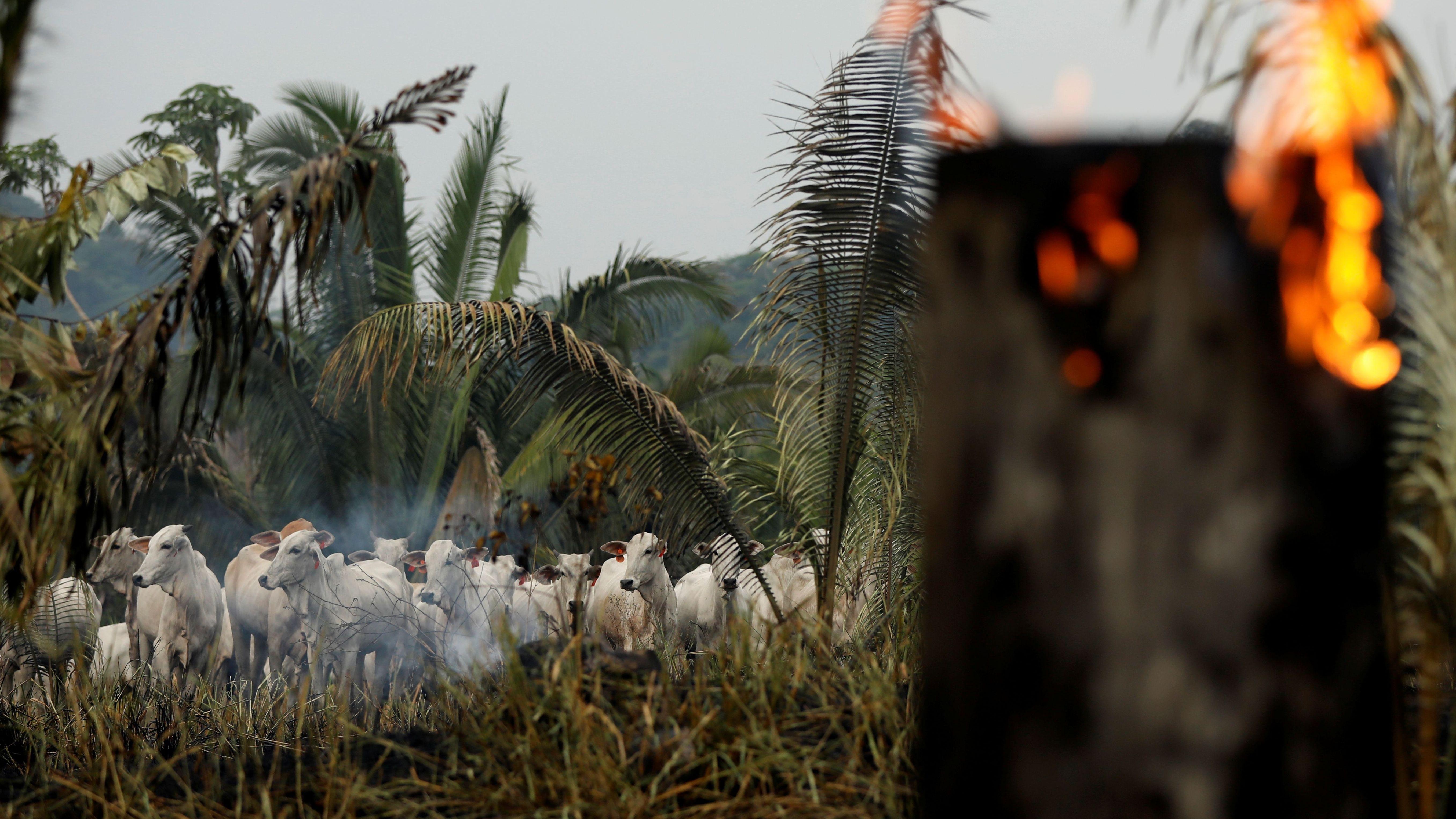 Rinder im brennenden Regenwald