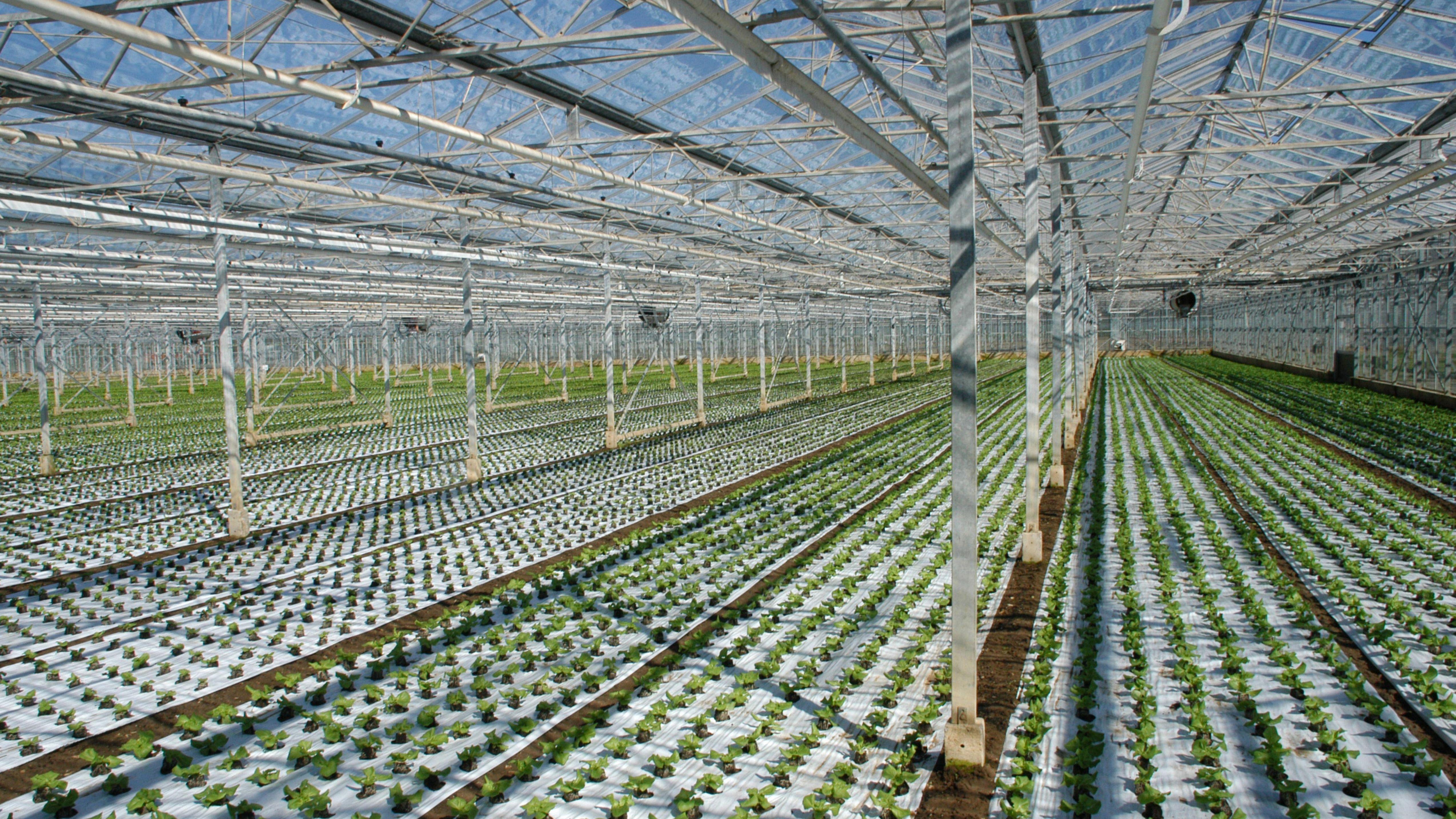 Salatpflanzen in einem Gewächshaus