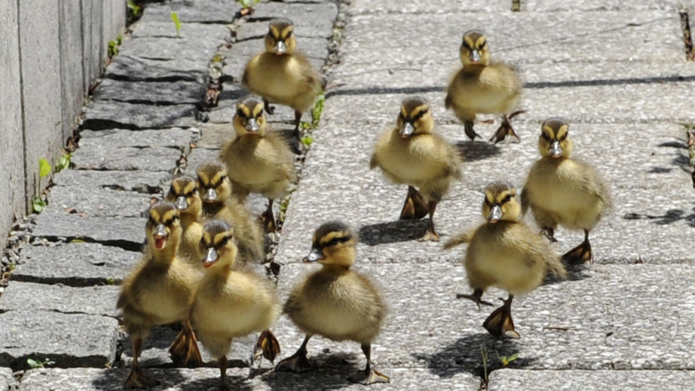 9-köpfige Entenfamilie auf der Straße.