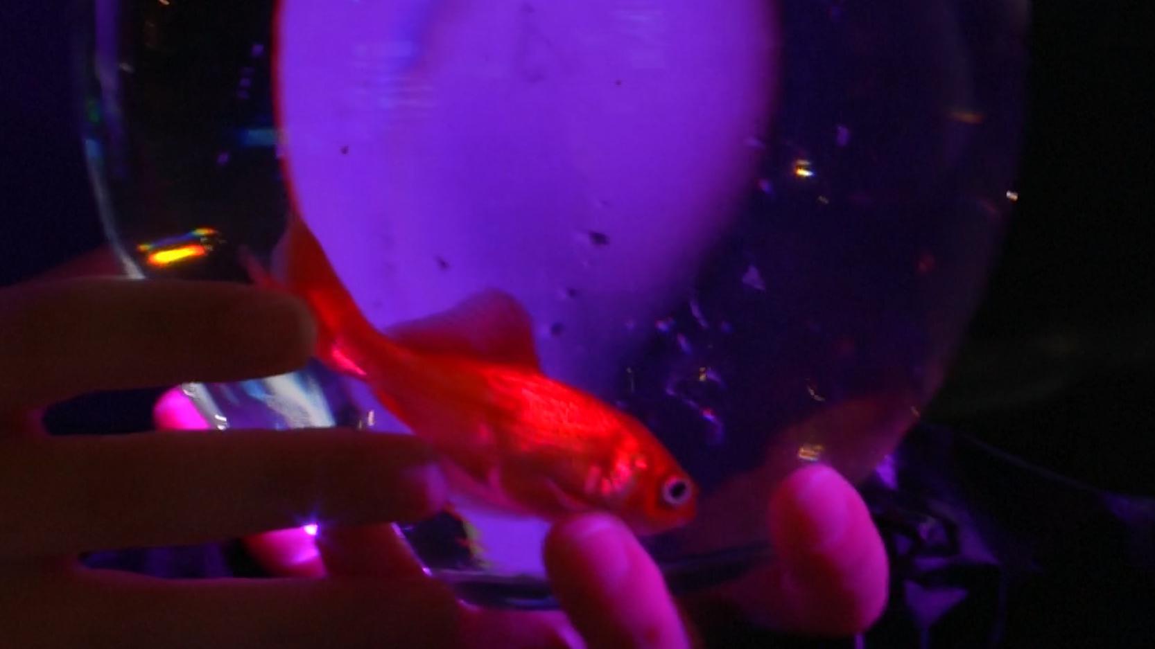 Ein Goldfisch wartet auf sein neues Heim.