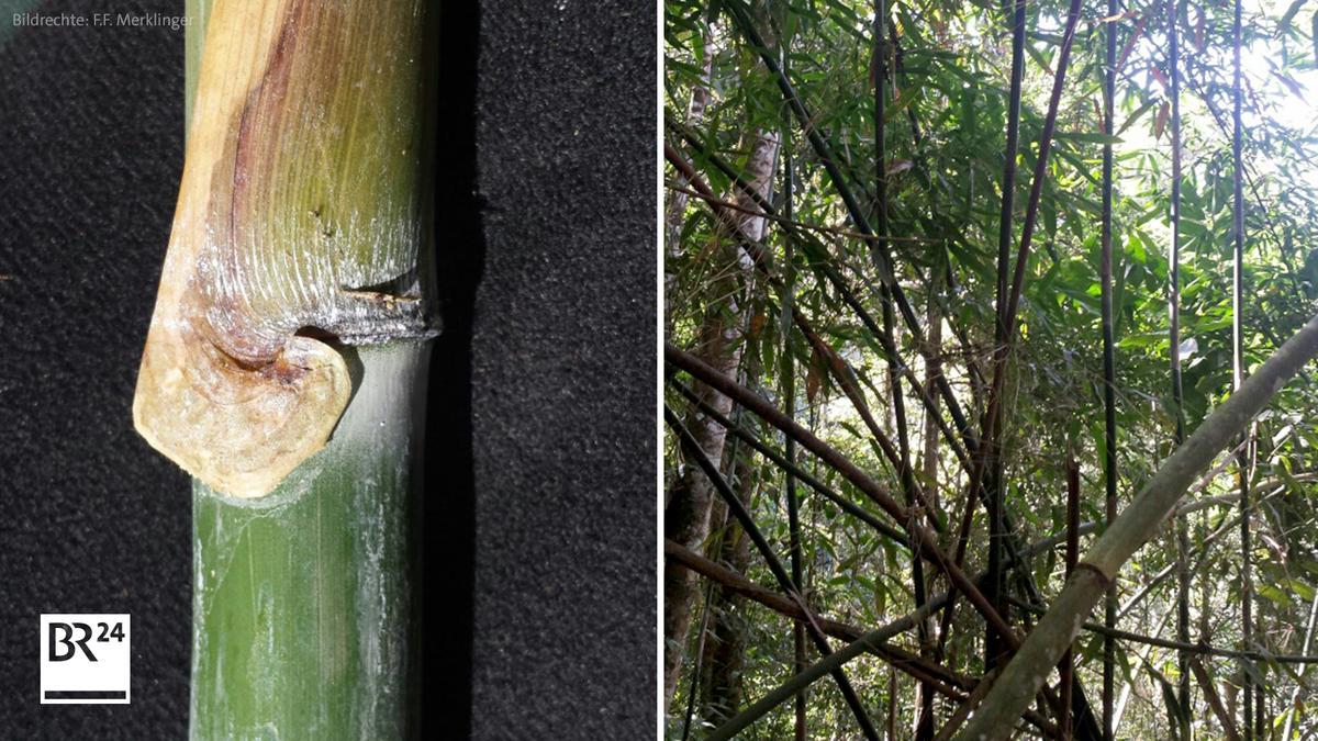 Zwiebelförmiger Bambus