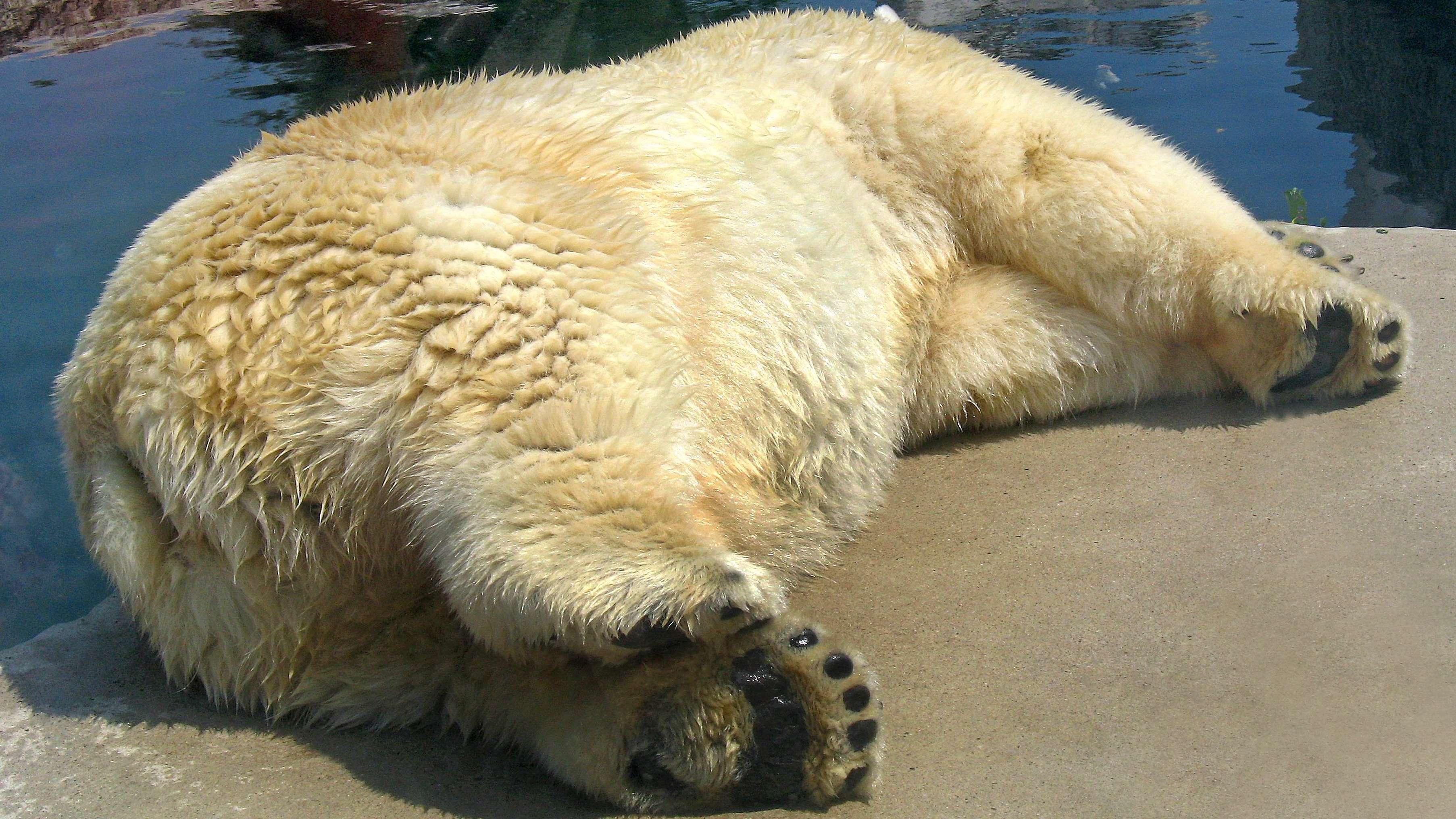 Ein ermatteter Eisbär ruht sich gerne auf der Seite liegend aus.