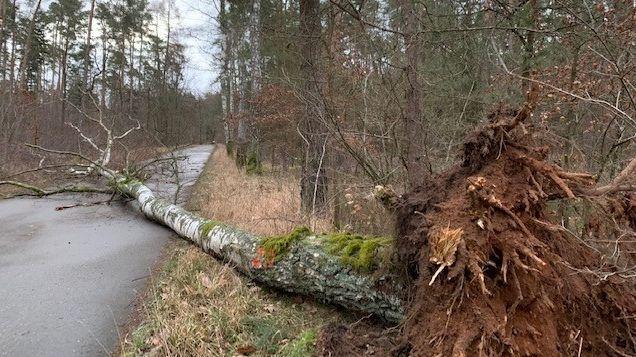 Ein umgestürzter Baum im Nürnberger Reichswald