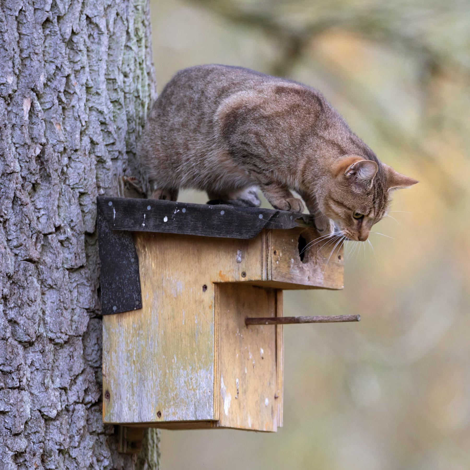 Katzenpfade - Wie Biologen das Verhalten der Vierbeiner erkunden