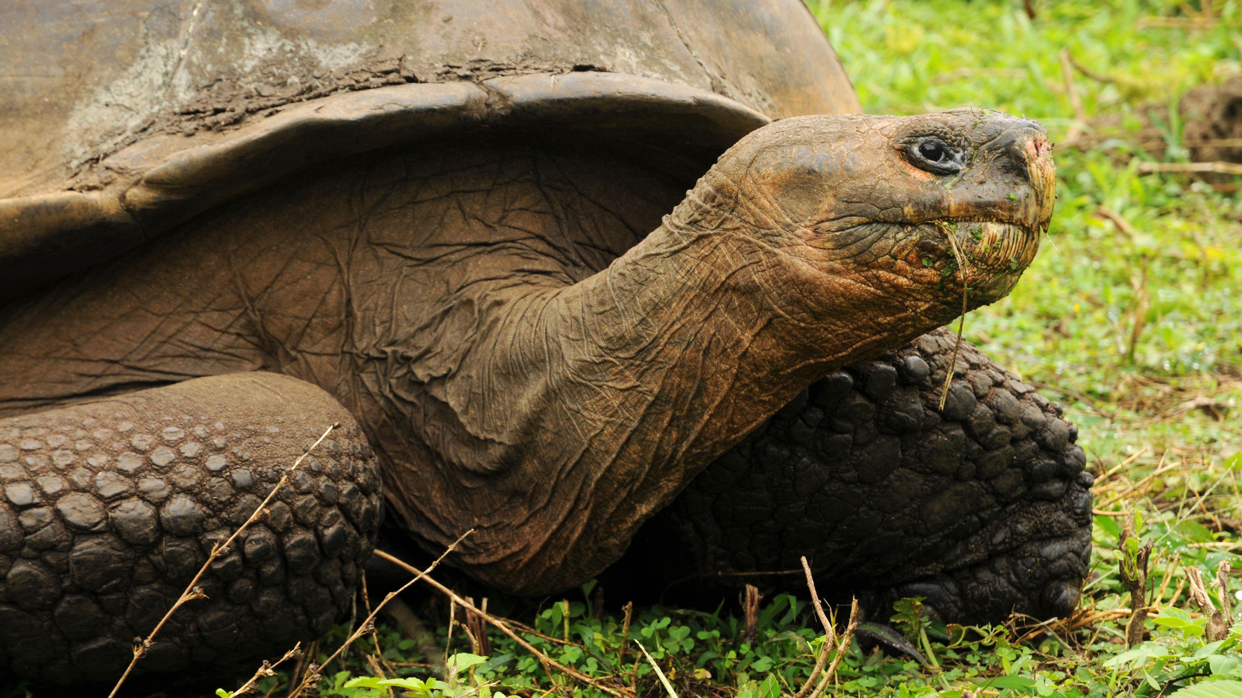 Galapagos Riesenschildkröte (Archivbild)