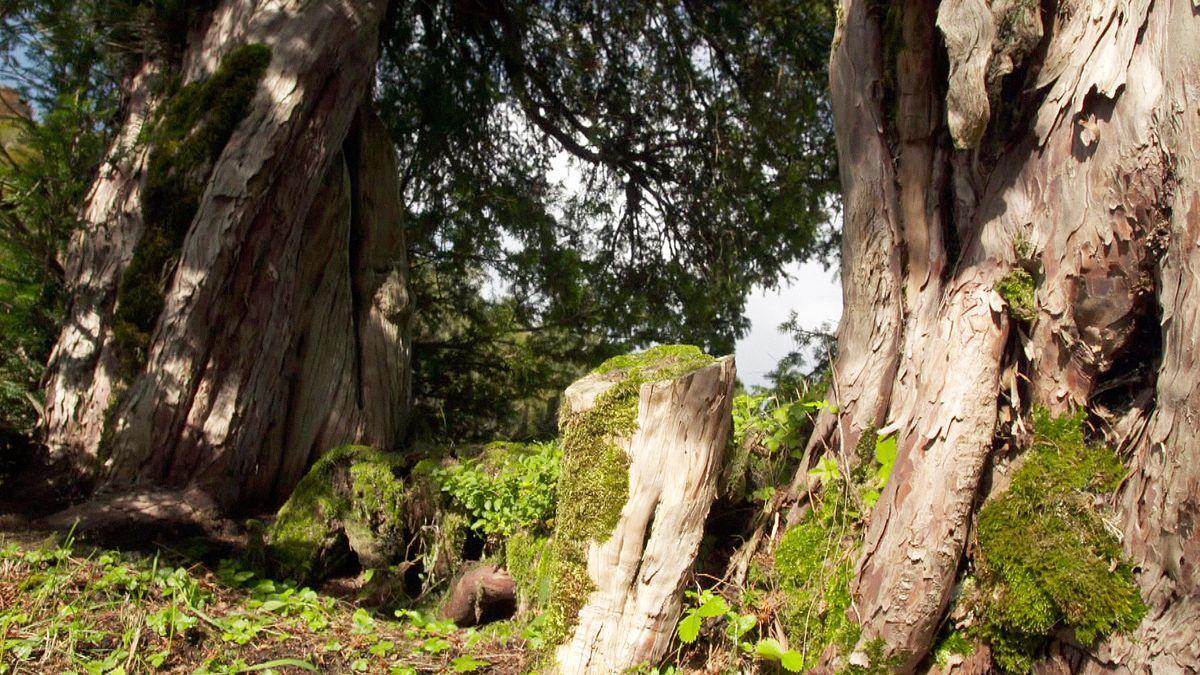 Ein Baum mit zwei identischen Stämmen.